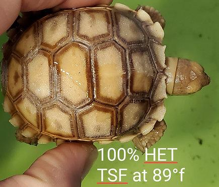 CB '19 Sulcata Tortoise 100% HET TSF