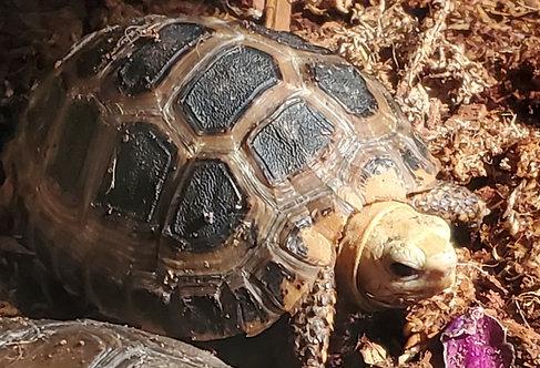 CB '17 Orange Phase Elongated Tortoise