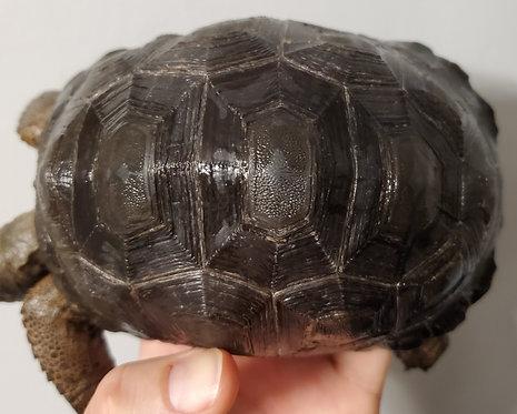 CB Aldabra Tortoise