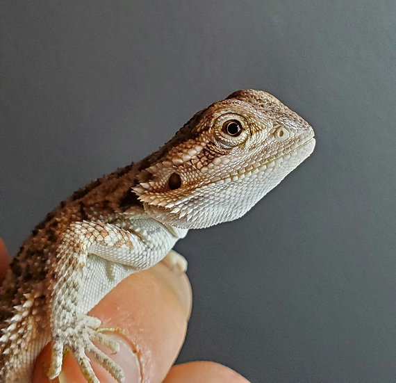 CB '20 Bearded Dragon Hatchlings (Unsexed)
