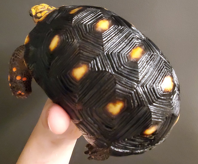 "6 1/2"" Male Venezuelan Redfoot Tortoise"