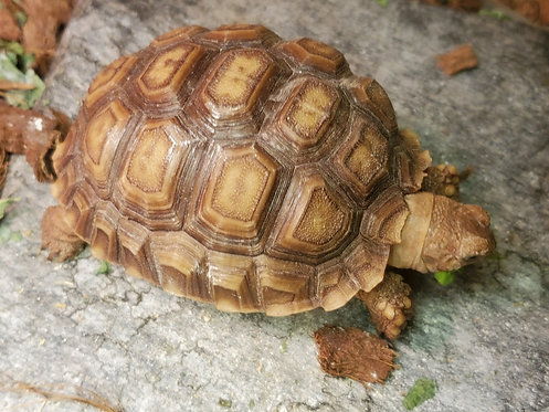 CB'19 Sulcata Tortoise (Adopted)