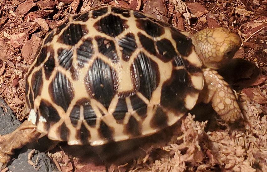 CB '19 Burmese Star Tortoise TSF
