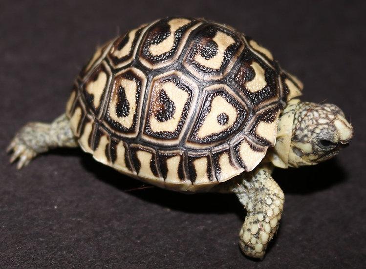 CB '21 Leopard Tortoise Hatchlings