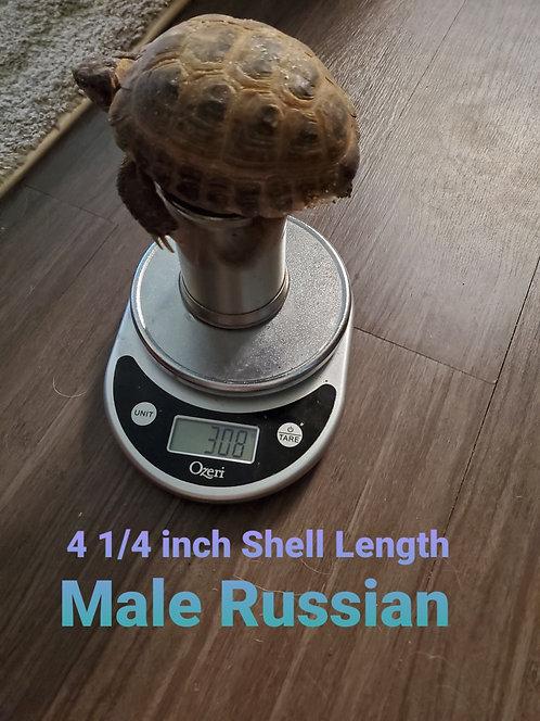 4 1/4 Male Russian Tortoise