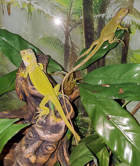 CB '20 Visual Hypo Green Iguana Hatchlings (TSM)