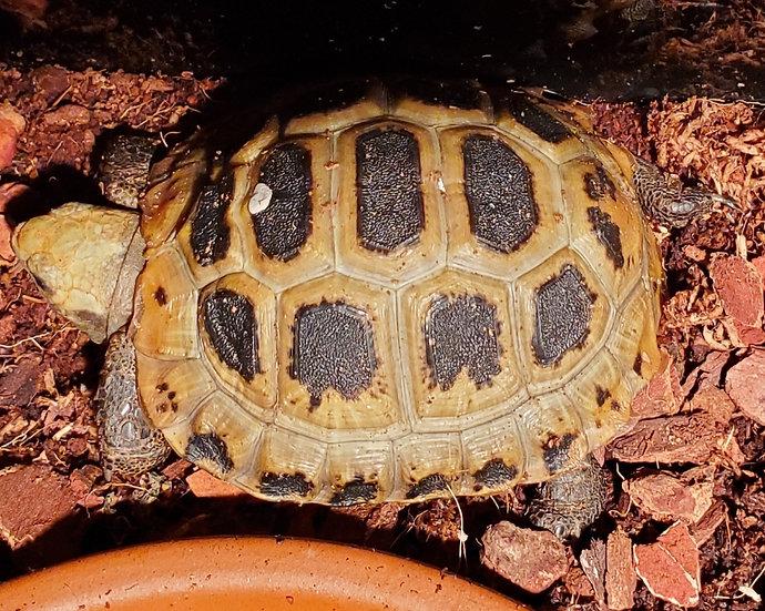 CB '18 Elongated Tortoise