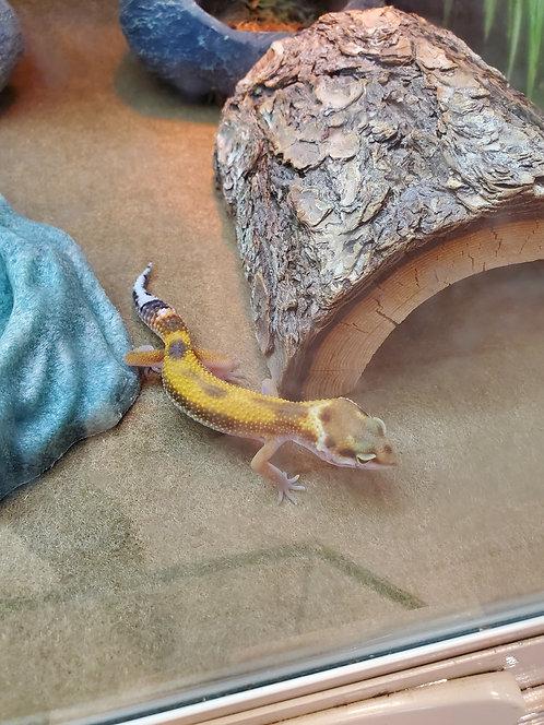 CB'19 High Yellow Leopard Gecko