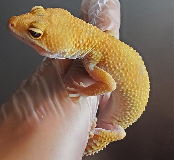 CB '18 Female SHCT Tangerine Leopard Gecko (Proven)