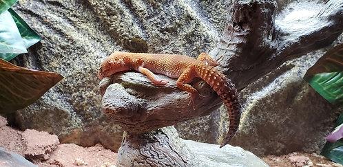 CB'18 Female SHCT Tangerine Leopard Gecko (Proven Breeder)
