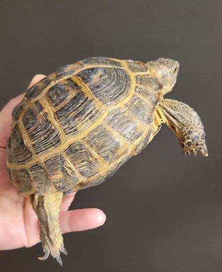 """4-5"""" Russian Tortoises"""