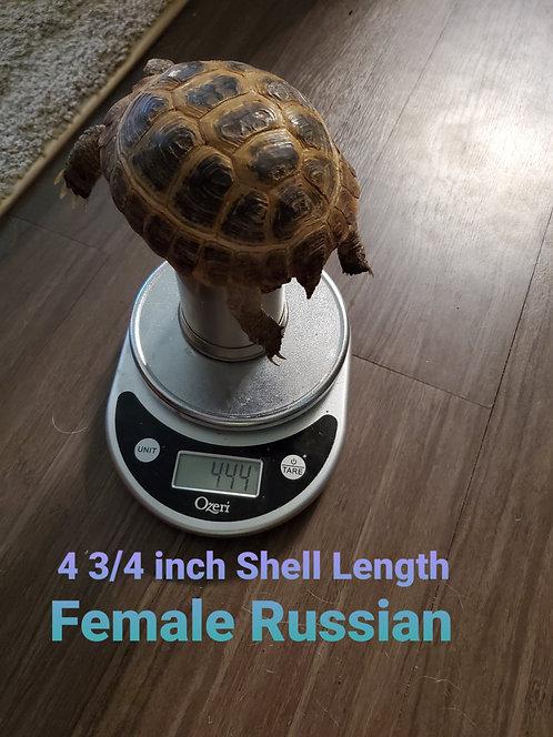 4 3/4 Female Russian Tortoise