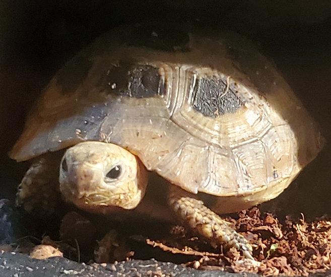 CB '17 Smooth Elongated Tortoise