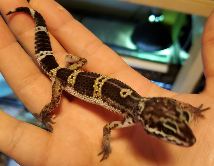 CB '20 Female 87.5% Black Night Leopard Gecko