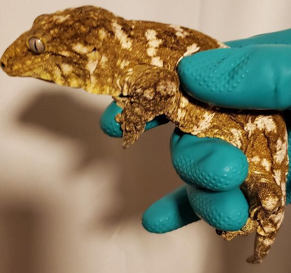 CB Male Nuu Ami Leachianus Gecko