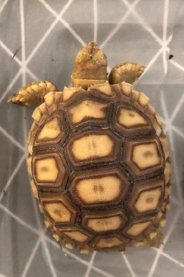 CB '21 Sulcata Tortoise Hatchlings