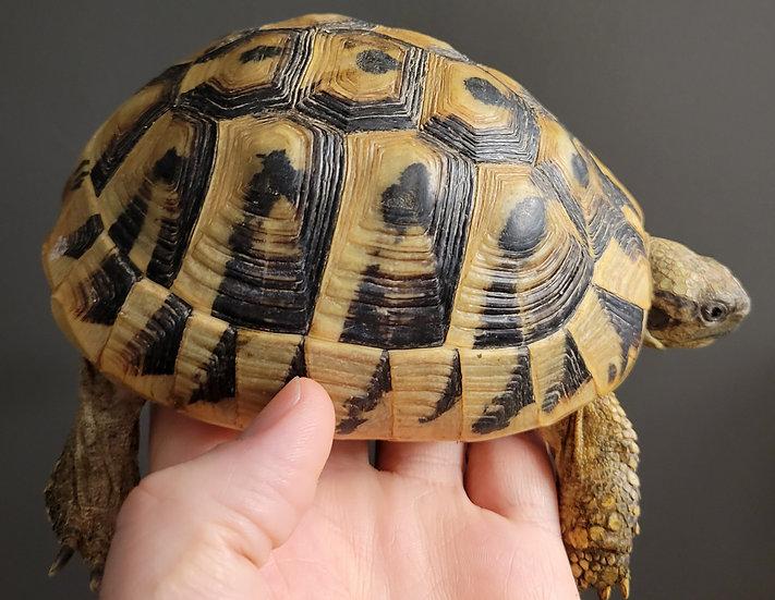 """5"""" Eastern Hermann's Tortoise (Female)"""