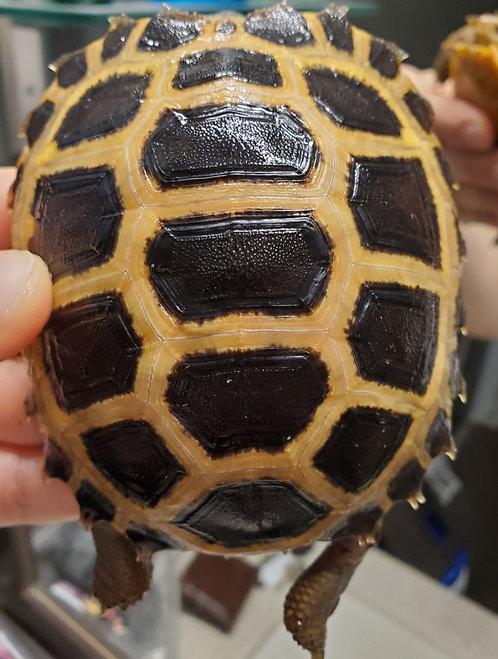 CB '18 Forstens Tortoise