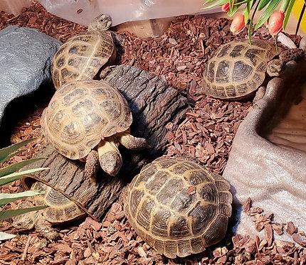 3.2 Russian Tortoise Group