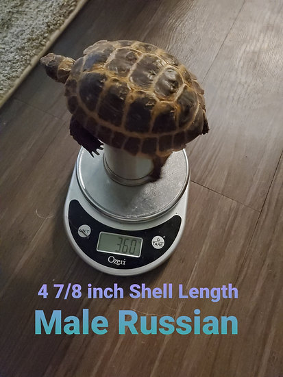"4 7/8"" Male Russian Tortoise"