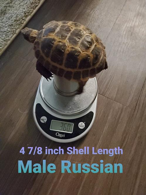 """4 7/8"""" Male Russian Tortoise"""