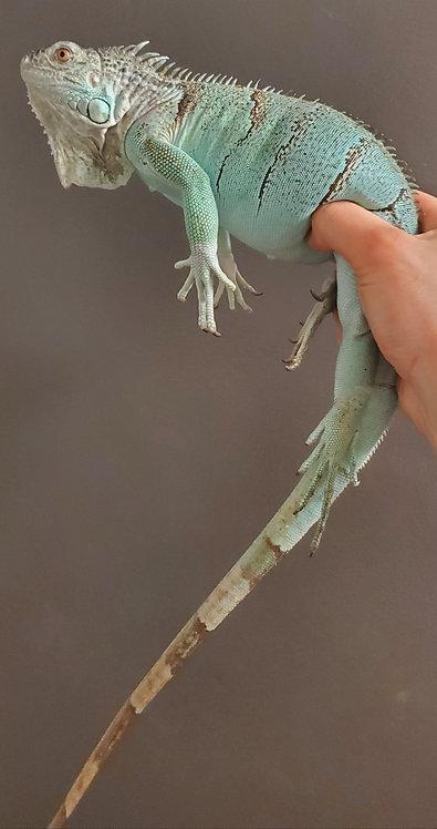 CB '18 Female Blue Axanthic Iguana