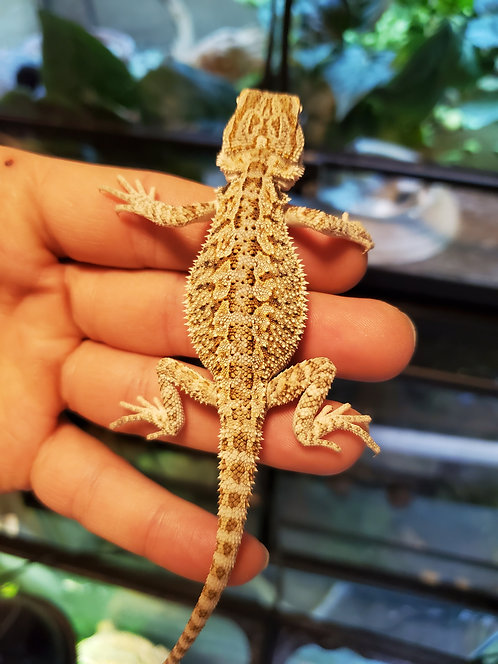 CB Bearded Dragon Hatchling (Unsexed)
