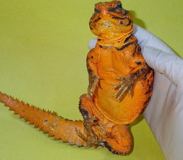 Male Red Nigerian Uromastyx