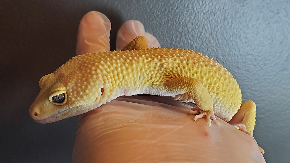 CB '18 Male SHCT Jungle Leopard Gecko