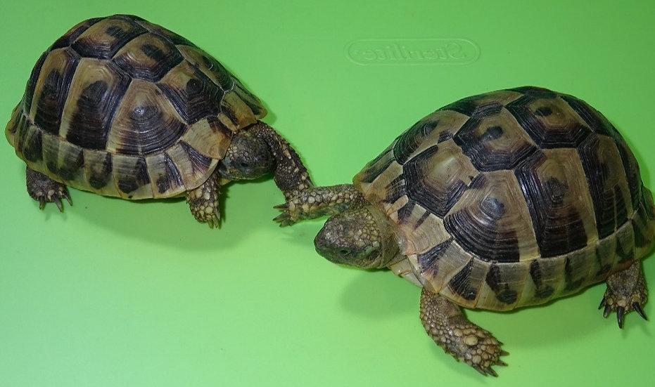 Adult Eastern Hermann's Tortoises (M/F)