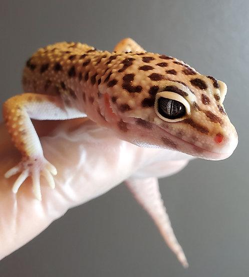 CB '19 Female Adult Leopard Gecko