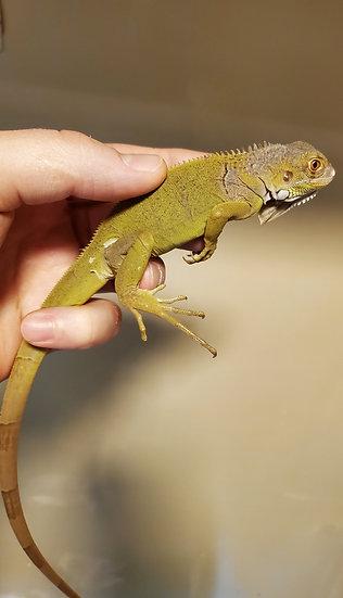 CB '21 Visual Hypo Green Iguana Hatchlings