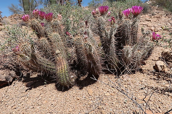 Colla kaktus i Saguaro nationalpark. Roadtrip med drivingusa.dk