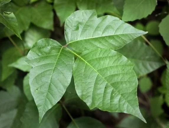 Poison Ivy i USA, giver brandsårsagtive hudskader
