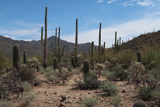 Saguaro National Park ved Tuscon, Arizona. Roadtrip