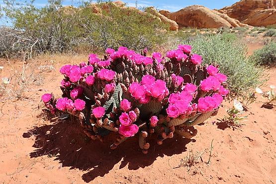 Blomster i ørkenen.jpeg