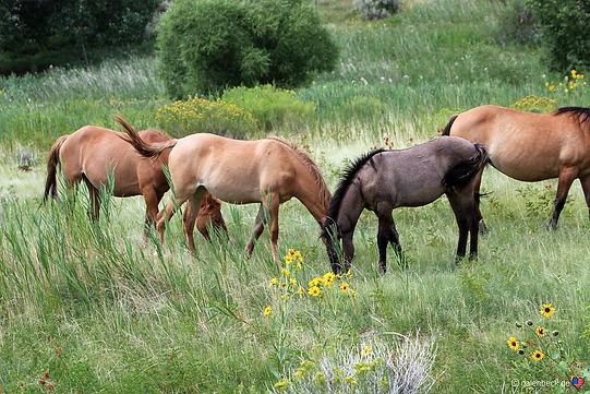 Vilde heste eren del af Bighorn Canyon.