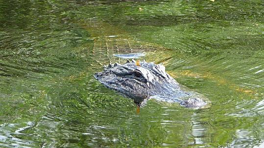 Krokodiller i Everglades. Roadtrip ruter og nationalparker i USA