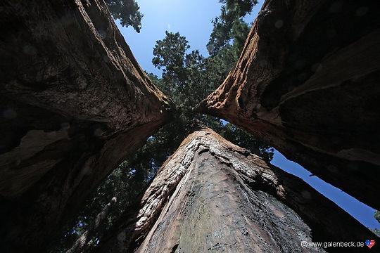 2000 år gamle mammuttræer i Sequoia Nationalpark., Californien.
