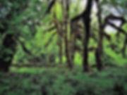 Hoh regnskov.Mark Stevens.jpg