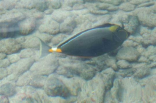 Fisk på Hawaii. Roadtrip ruter og nationalparker i USA