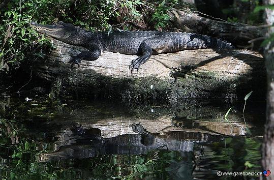 aligator i Everglades Florida. Roadtrip ruter og nationalparker i USA