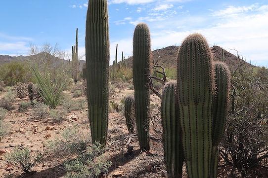 30 forskellige kaktuser gror i Saguaro.