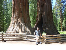Sequoias i Yosemite, Drivingusa.dk - Roadtrip i USA