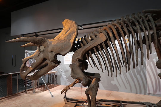 Dinosarus skelet. www.Drivingusa.dk