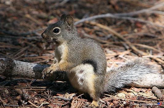 Egern i Sequoia nationalpark i usa