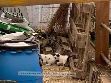 Nouveaux chatons à la ferme