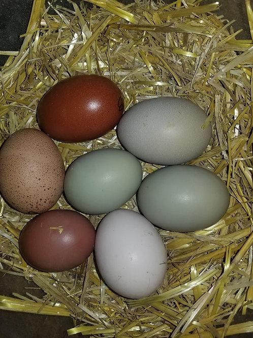 12 Hatchery ChoiceAssorted Chicks