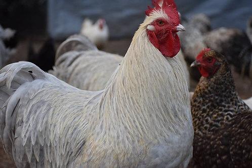 Orpington Isabel /Crele Egg