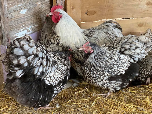 Silver Laced Orpington hatching egg